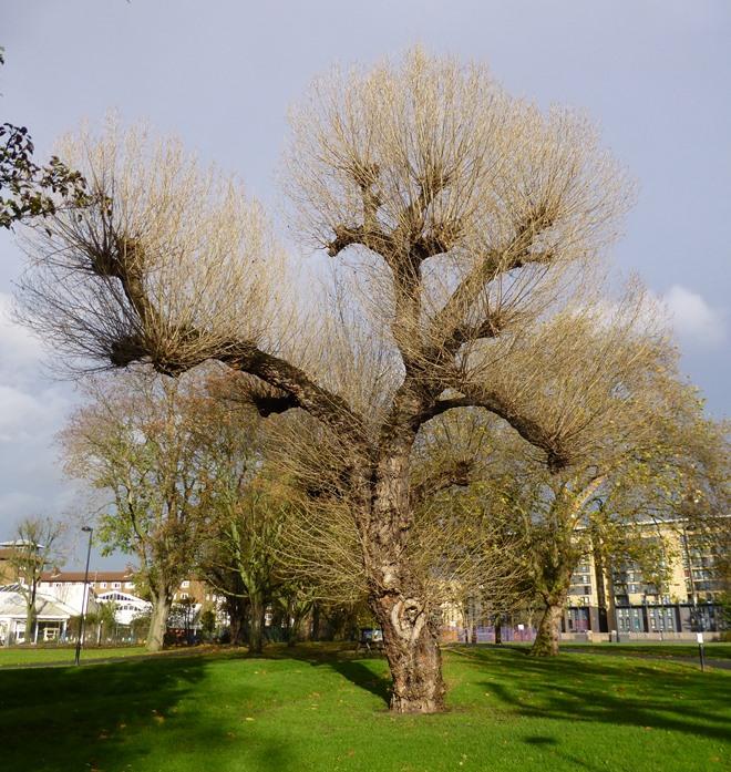 Black Poplar in winter