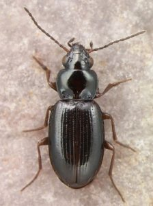 Bembidion obtusum