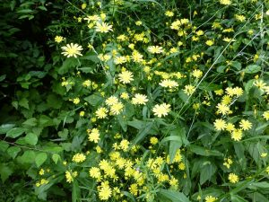 Large-flowered Nipplewort