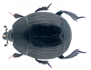 Margarinotus ventralis