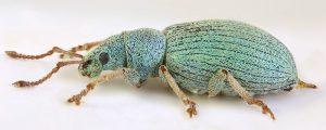 Phyllobius viridiaeris