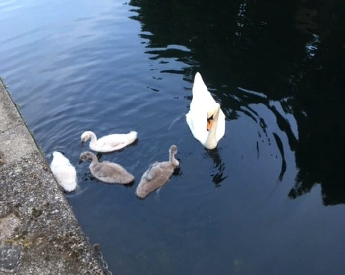 Mute Swan with 4 cygnets