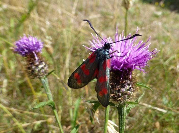 Photograph of a Six-spot Burnet moth