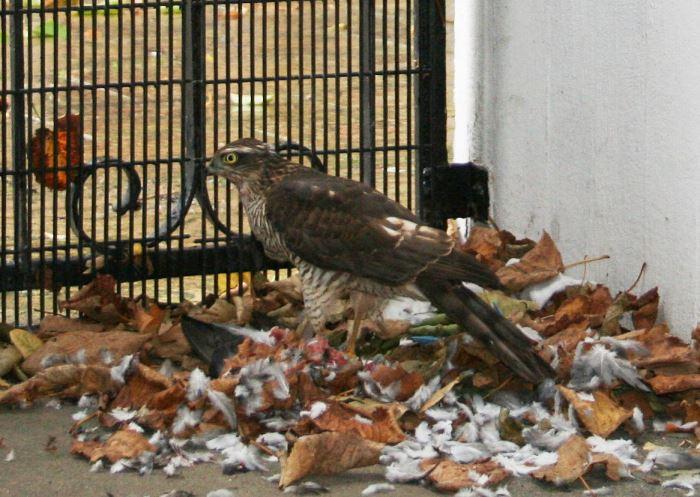 Photo of a Sparrowhawk