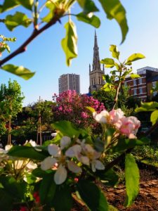 Photo of St Mary's Church from Cable Street Community Garden with spring blossom