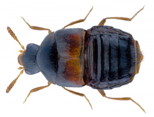 Photo of the rove beetle Encephalus complicans