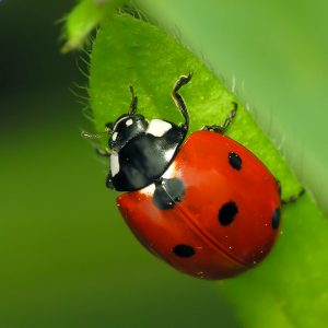 Photo of 7-spot Ladybird