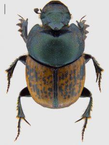 Photo of the beetle Onthophagus medius