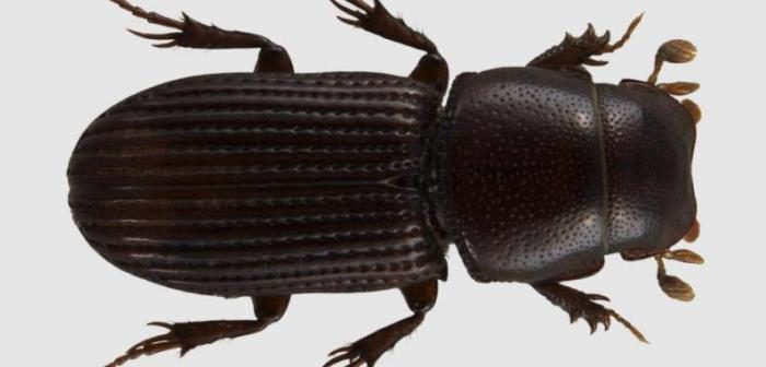Photo of the beetle Saprosites natalensis