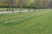 Photo of bulbs flowering in Weavers Fields