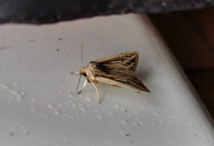 photo of a L-album Wainscot moth