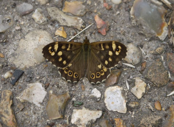 Photo of a Speckled Wood butterfly