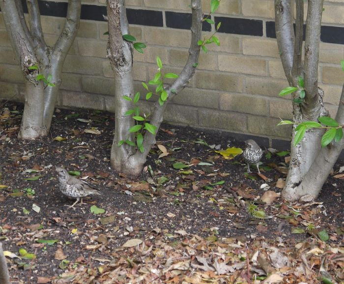 Photo of two young Mistle Thrushes