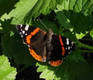 Photo of a Red Admiral butterfly