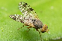 Photo of the picture-winged fly Tephritis praecox