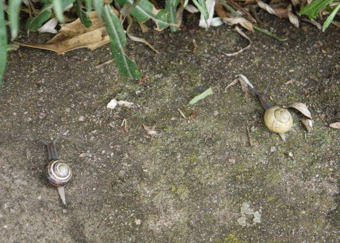 Photo of two White-lipped Snails (Cepaea hortensis)