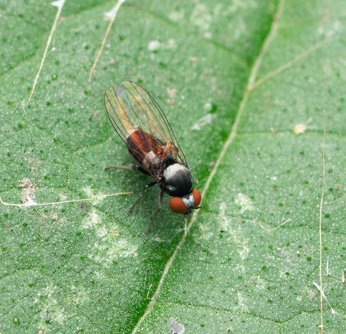 Photo of the flat-footed fly Agathomyia collini