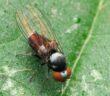 Photo of the fly Athomyia collini
