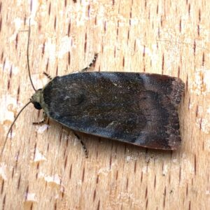 Photo of a Lesser Broad-bordered Yellow Underwing moth