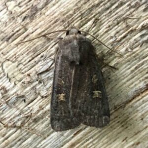 Photo of a Square-spot Rustic moth