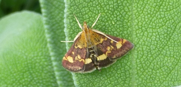 Photo of a Mint Moth