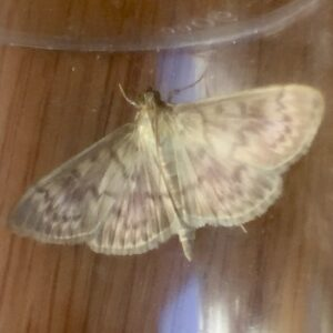 Photo of a Mother of Pearl moth