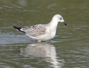 Photo of a 1st winter Great Black-backed Gull