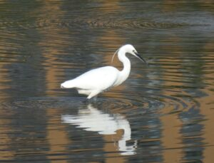 Photo of a Little Egret